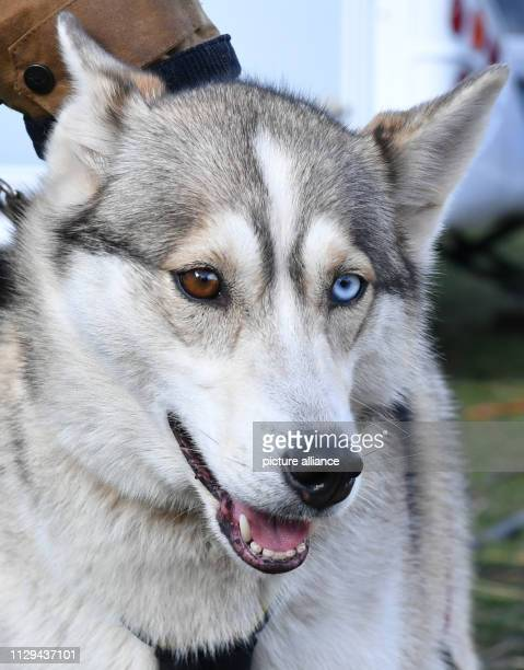 """March 2019, Mecklenburg-Western Pomerania, Heringsdorf: A Husky with one brown and one blue eye at the northernmost sled dog race of Germany """"Baltic..."""