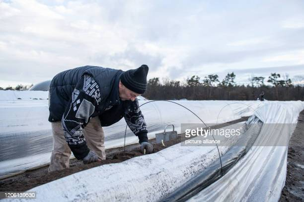 March 2020, Baden-Wuerttemberg, Hockenheim: A worker from Romania harvests asparagus in a heated asparagus field at the Grosshans Asparagus Farm....