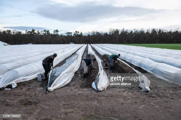 March 2020, Baden-Wuerttemberg, Hockenheim: Workers from Romania harvest asparagus on a heated asparagus field at the Grosshans Spargelhof. Photo:...