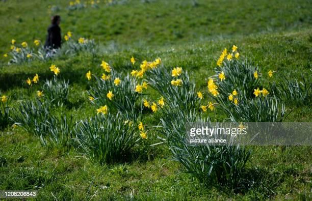 March 2020, Baden-Wuerttemberg, Stuttgart: Easter bell, or yellow daffodils bloom on Karlshöhe. Photo: Marijan Murat/dpa