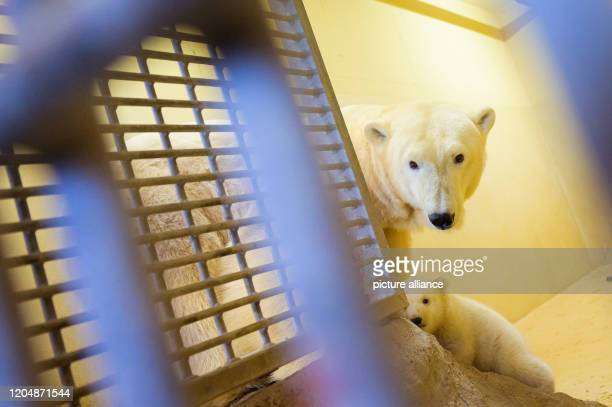 March 2020, Bremen, Bremerhaven: One of the two little female polar bears is out and about in her enclosure at the Zoo am Meer with her mother, polar...