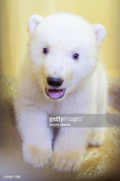 March 2020, Bremen, Bremerhaven: One of the two little polar bears can be seen in her enclosure at the zoo by the sea. Their mother, polar bear...
