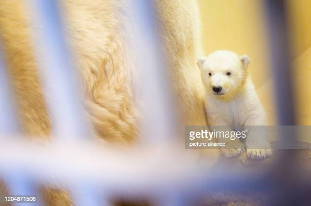 March 2020, Bremen, Bremerhaven: One of the two little polar bears has snuggled up to her mother in her enclosure at the zoo by the sea. Polar bear...