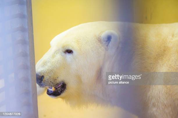 March 2020, Bremen, Bremerhaven: Polar bear Valeska is in her enclosure in the zoo by the sea. She had given birth to twins, two females, in...