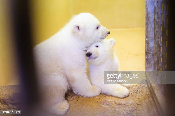 March 2020, Bremen, Bremerhaven: The two little female polar bear twins are cuddling in their enclosure at the zoo by the sea. Their mother, polar...