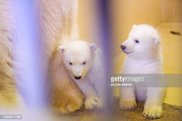 March 2020, Bremen, Bremerhaven: The two little female polar bear twins are cuddling with their mother, polar bear Valeska, in their enclosure at the...