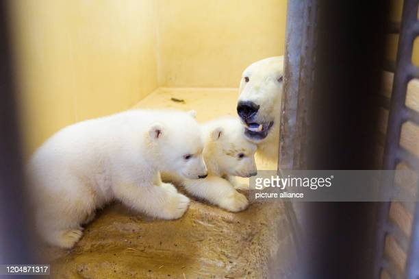 March 2020, Bremen, Bremerhaven: The two little female polar bear twins are out and about in their enclosure at the Zoo am Meer with their mother,...