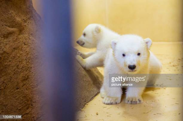 March 2020, Bremen, Bremerhaven: The two little female polar bear twins are out and about in their enclosure at the zoo by the sea. Their mother,...