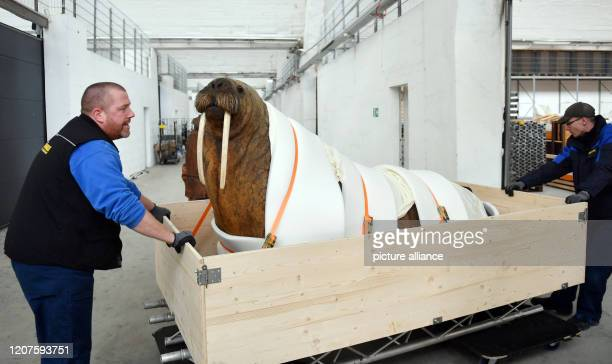 March 2020, Saxony, Leipzig: Employees of a forwarding agency transport a prepared Atlantic Walrus to a depot of the Natural History Museum Leipzig....