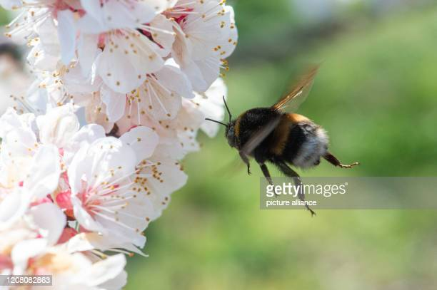 24 March 2020 SaxonyAnhalt Langenweddingen A bumblebee flies to an apricot blossom The apricot blossom has begun on the plantation of the Hornemann...