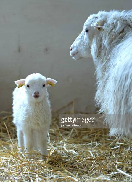 March 2021, Brandenburg, Roskow: A lamb born in March 2021 of the Skudden breed stands on straw next to the ewe in the barn at the Skudden farm in...