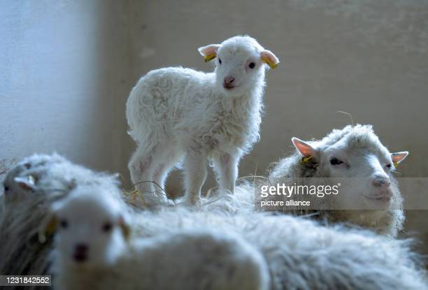 March 2021, Brandenburg, Roskow: A lamb born in March 2021 of the Skudden breed stands on the back of the ewe at the Skudden farm in the Roskow...