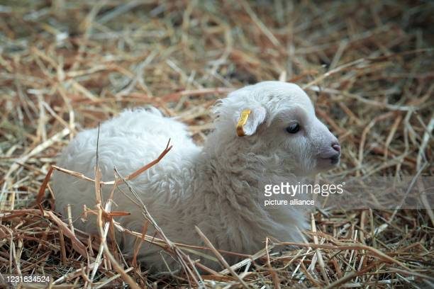 March 2021, Brandenburg, Roskow: A lamb of the Skudden breed born in March 2021 lies on straw in the barn at the Skudden farm in the Roskow district...