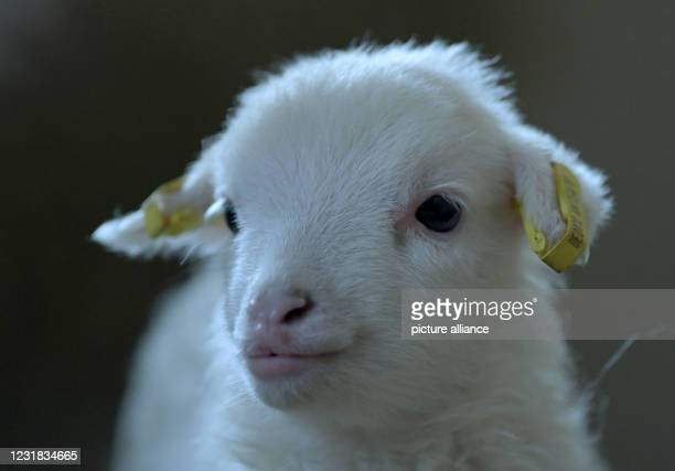 March 2021, Brandenburg, Roskow: A lamb of the Skudden breed born in March 2021 stands in the barn on the Skudden farm in the Roskow district of...