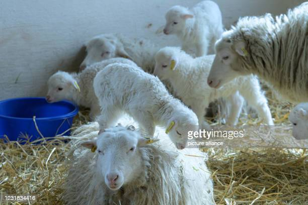 March 2021, Brandenburg, Roskow: Lambs and ewes of the Skudden breed stand on straw in the barn at the Skuddenhof in the Roskow district of Weseram....