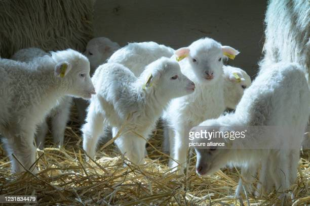 March 2021, Brandenburg, Roskow: Skudden lambs born in March 2021 stand on straw in the barn at the Skuddenhof in the Roskow district of Weseram....