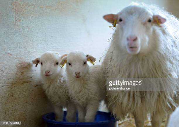March 2021, Brandenburg, Roskow: Two lambs of the Skudden breed born in March 2021 stand on straw next to the ewe in the barn on the Skudden farm in...