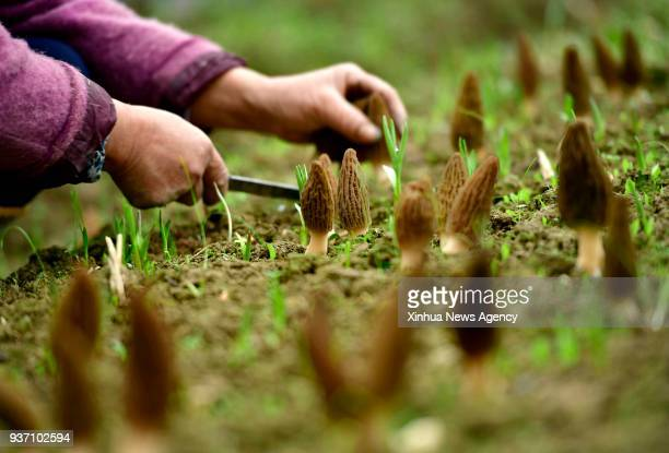 ENSHI March 23 2018 A farmer harvests morel mushrooms at a greenhouse in Mayangzhai village Xuan'en county central China's Hubei Province March 20...