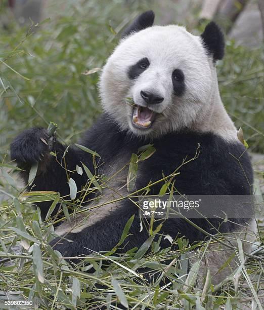 March 5 2015 Chengdu Sichuan China Giant Pandas play at Chengdu Research Base of Giant Panda Breeding in Chengdu Sichuan China