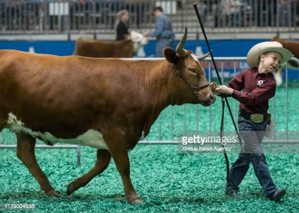 HOUSTON March 5 2019 A boy leads his Texas Longhorn to leave following the Texas Longhorn Contest in Houston Texas the United States on March 5 2019...