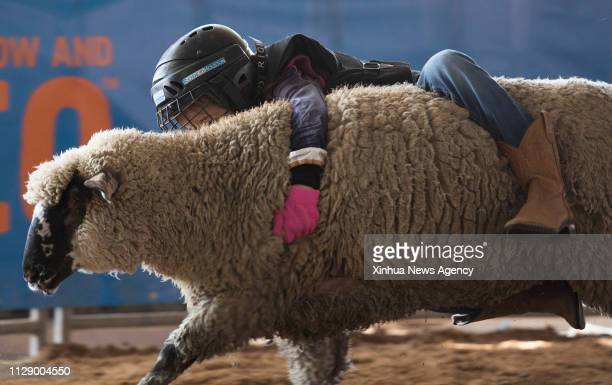 HOUSTON March 5 2019 A Mutton Bustin contestant holds onto the sheep during her ride at Houston Livestock Show and Rodeo in Houston Texas the United...
