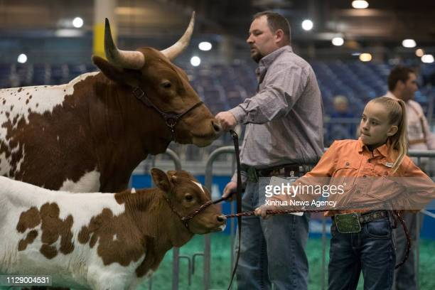 HOUSTON March 5 2019 A Texas Longhorn and its calf are seen during the Texas Longhorn Contest in Houston Texas the United States on March 5 2019 The...