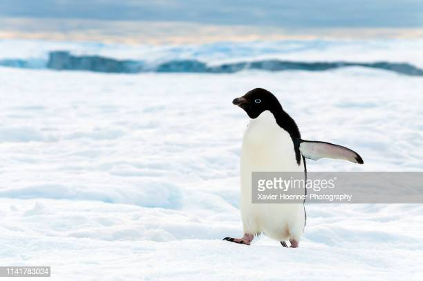 march of the adelie penguin - adelie penguin stock pictures, royalty-free photos & images