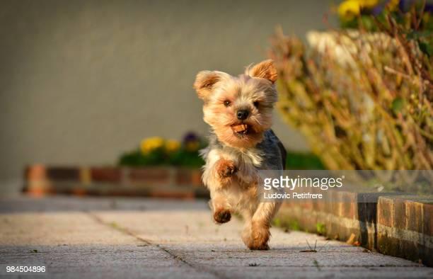 marche au pas - yorkshire terrier stock pictures, royalty-free photos & images