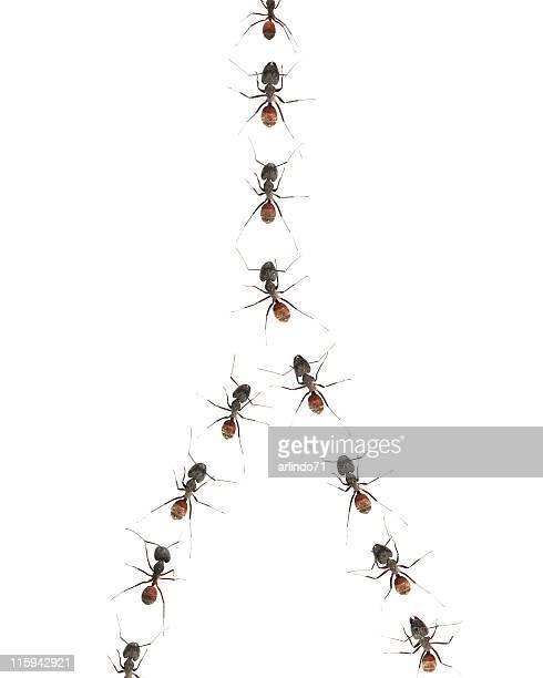 Marschieren Ameisen 04