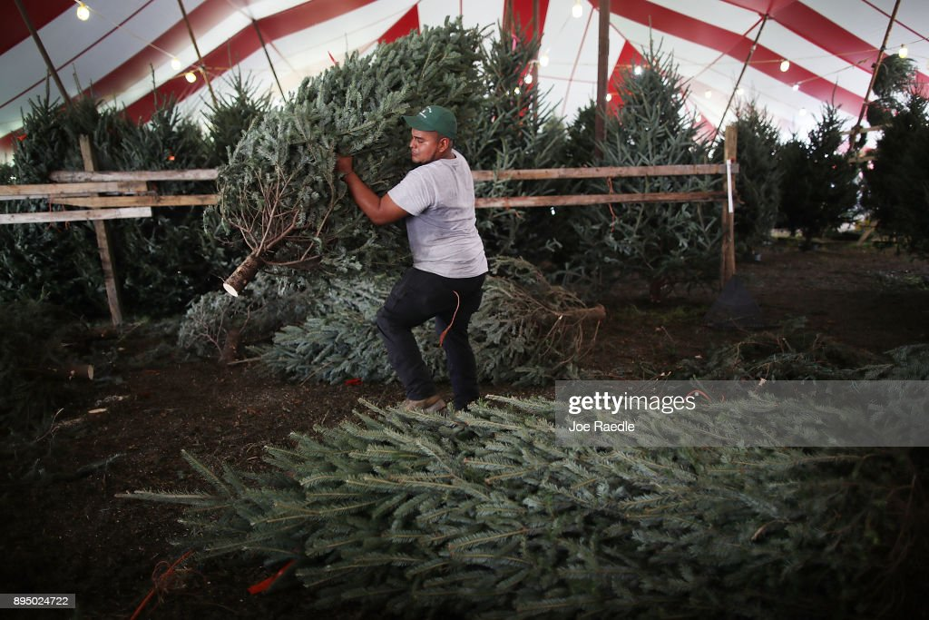 marco gomez prepares a christmas tree for sale at holiday sale on december 18 2017