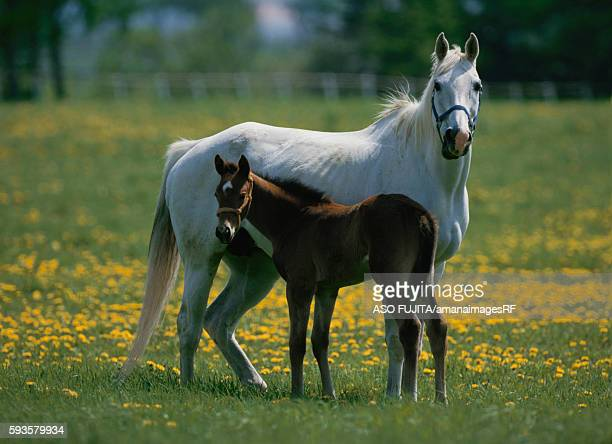Mare and foal in field, Hakuba, Urakawa-machi, Hokkaido, Japan