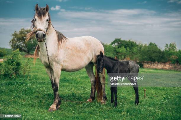 mare and foal on the meadow - colts bay 2019 stock pictures, royalty-free photos & images