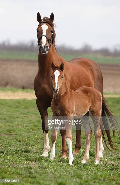 mare and foal on the meadow - colts stock photos and pictures