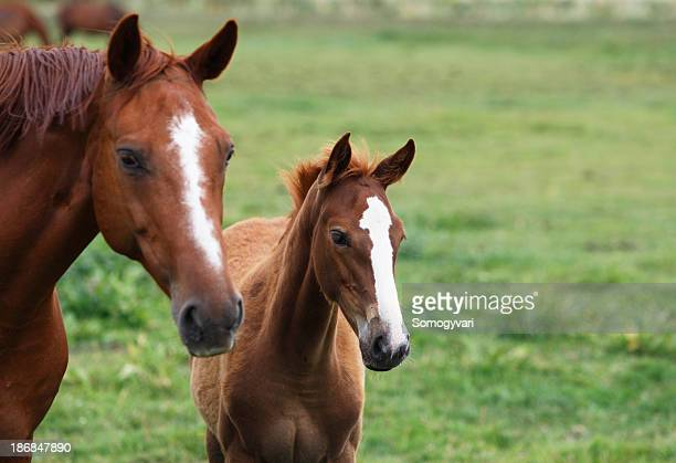 mare and foal - colts stock photos and pictures