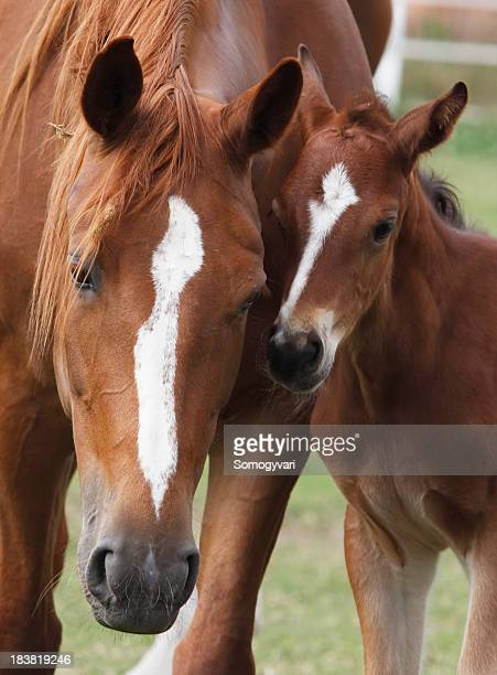 mare and her foal - thoroughbred horse stock photos and pictures