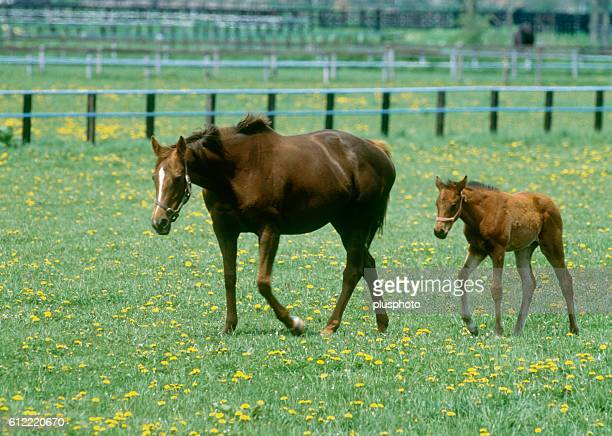 Mare and her foal walking in a field, Urakawa, Hokkaido, Japan