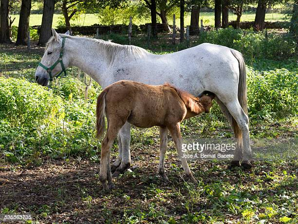 Mare fed to his colt of the teat with mother milk