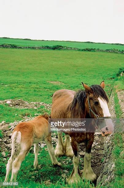 Mare feeding its foal, Cregnesh, Isle of Man, British Isles