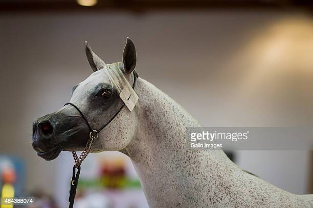 Mare Pepita is displayed during the annual Pride Of Poland auction on August 16 2015 in Janow Podlaski Poland Mare Pepita was sold for 14 million...