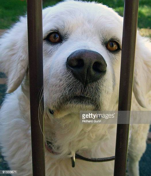 maremma dog behind bars - pastore maremmano foto e immagini stock