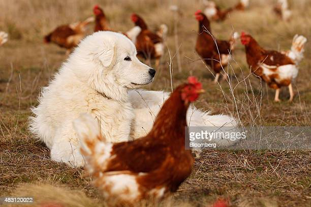 A Maremma Sheepdog lies among Bond Red hens in a field at the Mulloon Creek Natural Farm in Bungendore Australia on Thursday July 30 2015 Australia's...