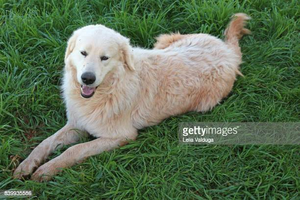 maremma sheepdog making pose for photo! - pastore maremmano foto e immagini stock