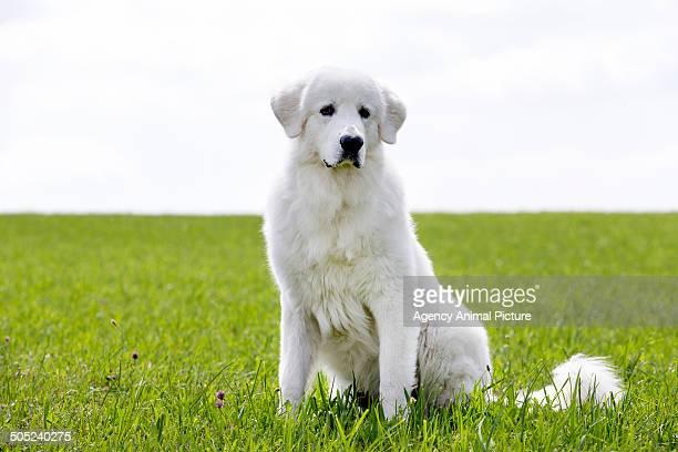maremma sheepdog - pastore maremmano foto e immagini stock