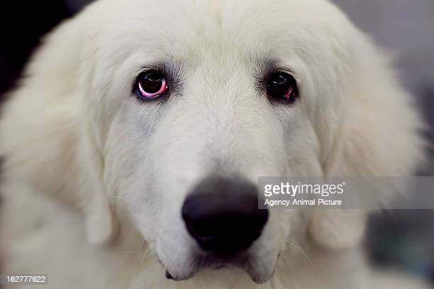 Maremmano Abruzzese Dog at the CACIB dog exhibition Westfalenhallen Dortmund on October 16 2011 in Dortmund Germany