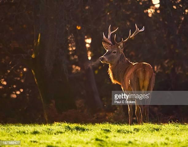 Margam park deer