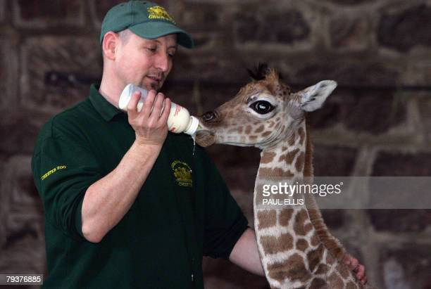 Margaret, a 10 day old Rothschild giraffe, is fed by keeper Tim Rowlands during a media photocall at Chester Zoo, Chester, north-west England, 30...