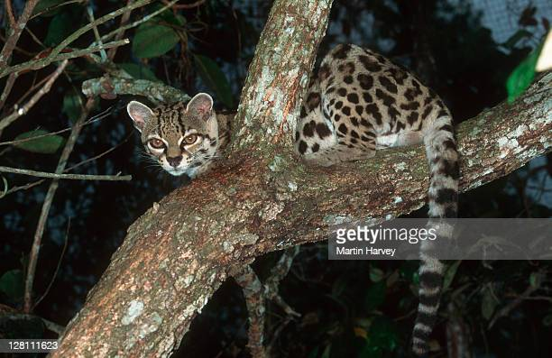 Margay cat, Leopardus wiedii, in tree. Endangered and native to Central and South America