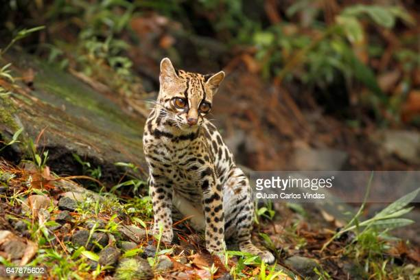 margay (leopardus wiedii) - forens stock pictures, royalty-free photos & images