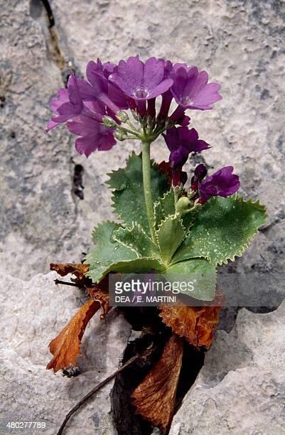 Marginate primrose Primulaceae