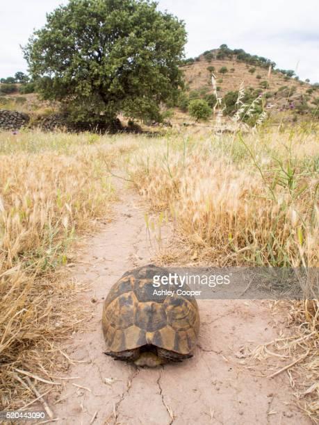 a marginated tortoise (testudo marginata) on lesvos, greece - marginata stock pictures, royalty-free photos & images